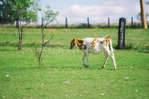 Country Calf Stock photo © artistrobd