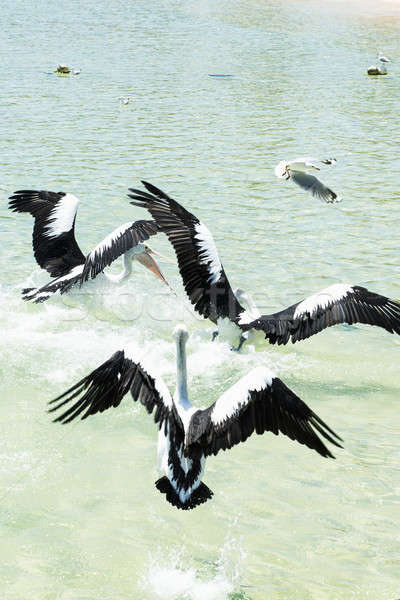 Stock photo: Pelicans feeding in the water