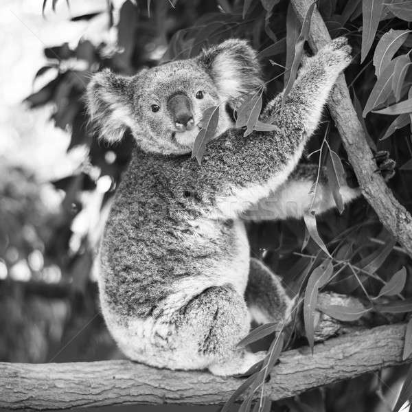 Stock photo: Koala in a eucalyptus tree. Black and White