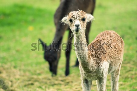 Baby Alpaca, also called Cria  Stock photo © artistrobd