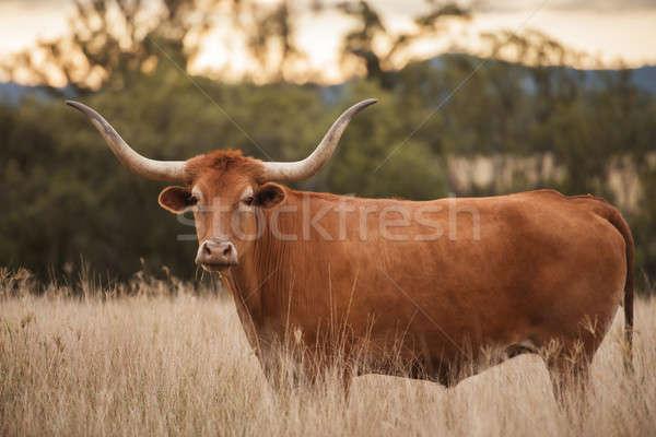 Longhorn Cow in the paddock Stock photo © artistrobd
