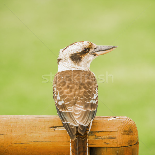 Kookaburra gracefully resting during the day Stock photo © artistrobd