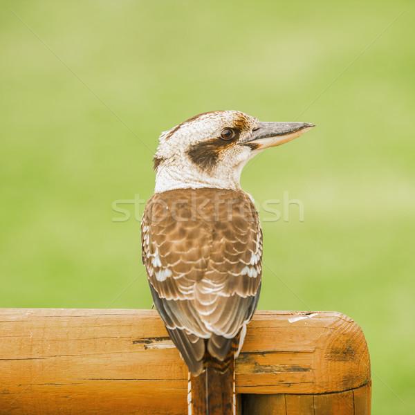 Kookaburra gracefully resting during the day Stock photo © artistrobd