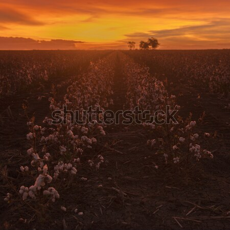 Cotton field in Oakey, Queensland Stock photo © artistrobd