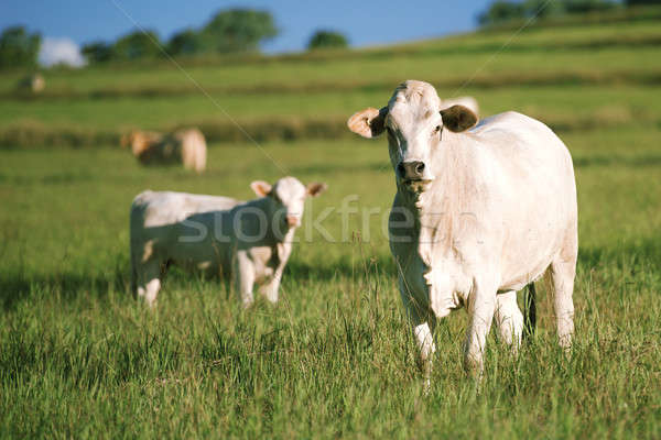 Group of cows with baby cow. Stock photo © artistrobd