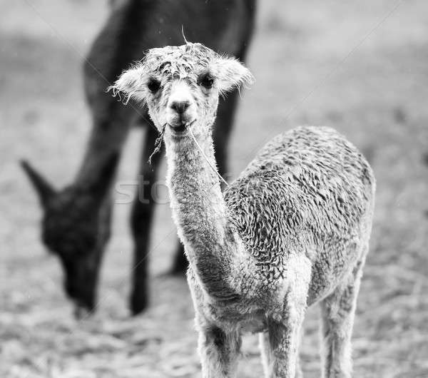 Baby Alpaca, also called Cria. Black and White.  Stock photo © artistrobd
