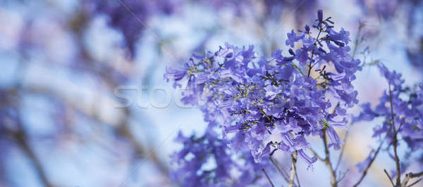 Colourful blooming jacaranda tree Stock photo © artistrobd