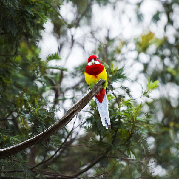 Eastern Rosella resting on a branch Stock photo © artistrobd