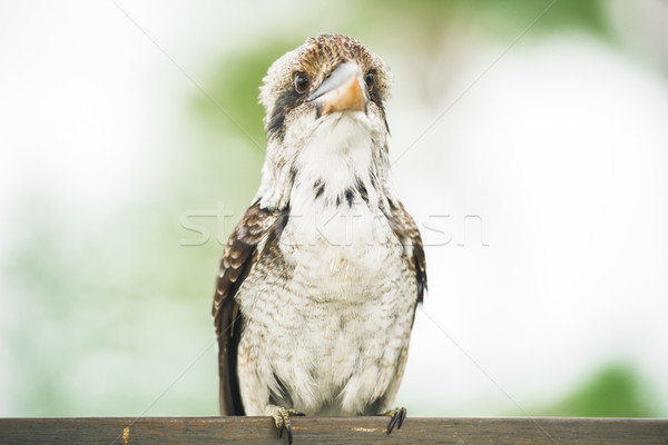 Kookaburra gracefully resting during the day. Stock photo © artistrobd