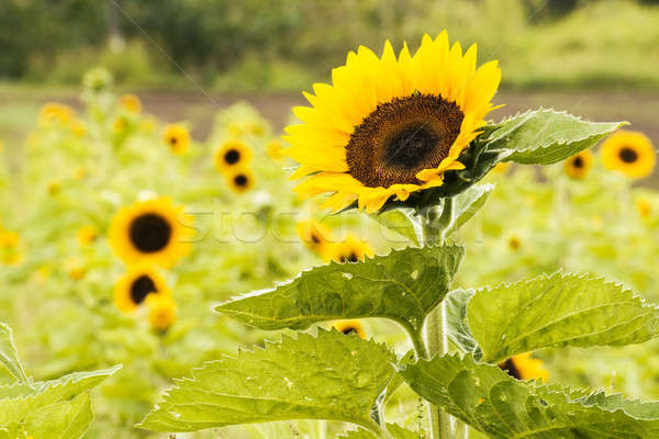 Sunflowers in a field in the afternoon. Stock photo © artistrobd