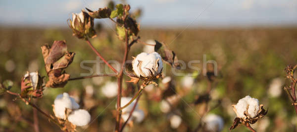 Pamuk alan queensland alanları hazır hasat Stok fotoğraf © artistrobd