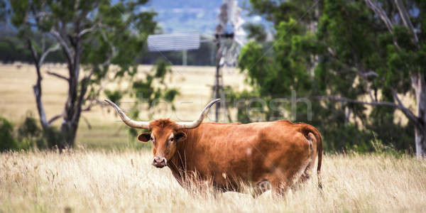 Longhorn Cow in the paddock Stock photo © artistrobd