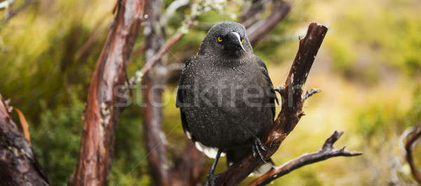 Black currawong resting on a tree branch Stock photo © artistrobd