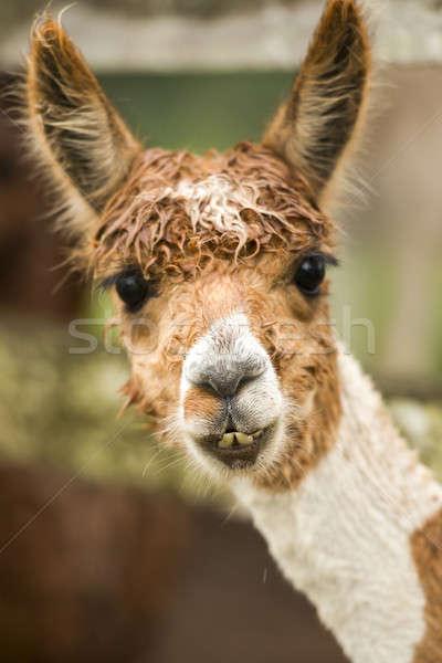 Stock photo: Alpaca by itself in a field