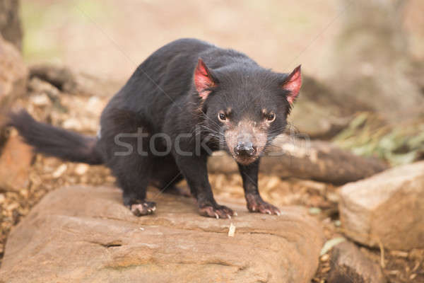 Diable tasmanie nez étroite Australie sauvage Photo stock © artistrobd