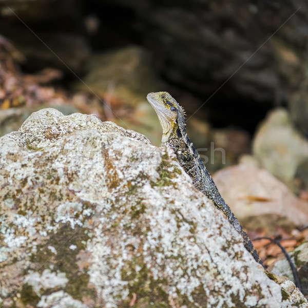 Water Dragon resting on a rock. Stock photo © artistrobd