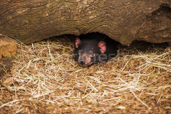 ördög Tazmánia orr zárt Ausztrália vad Stock fotó © artistrobd