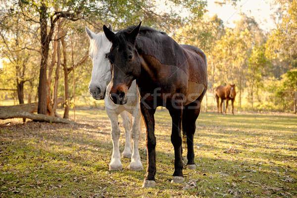 Horses in the paddock Stock photo © artistrobd