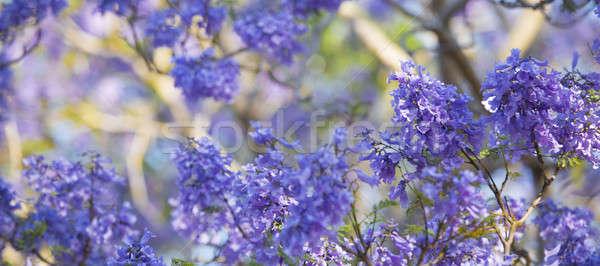 Kleurrijk boom mooie diep paars Stockfoto © artistrobd