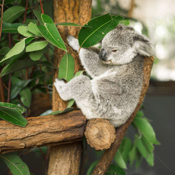 Koala in a eucalyptus tree. Stock photo © artistrobd
