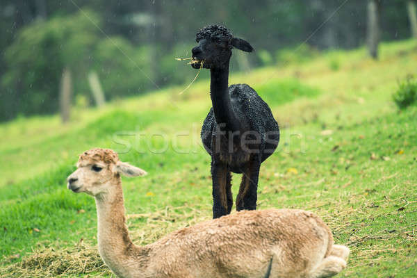 Alpacas in a field  Stock photo © artistrobd