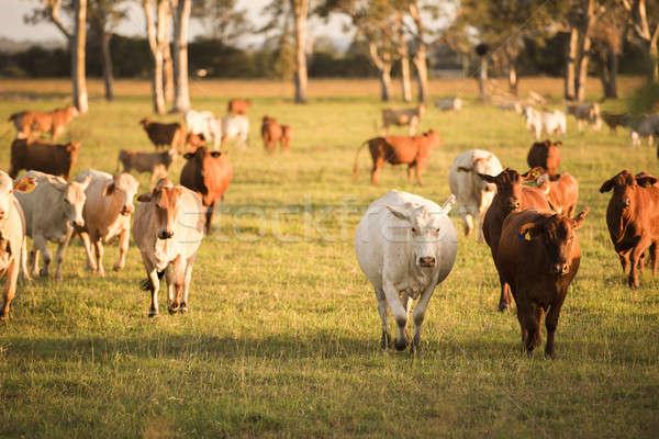 Country Cows  Stock photo © artistrobd