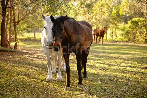 Chevaux oeil été tête animaux accent Photo stock © artistrobd