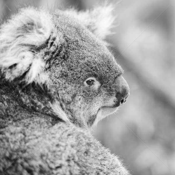 Koala in a eucalyptus tree. Black and White Stock photo © artistrobd