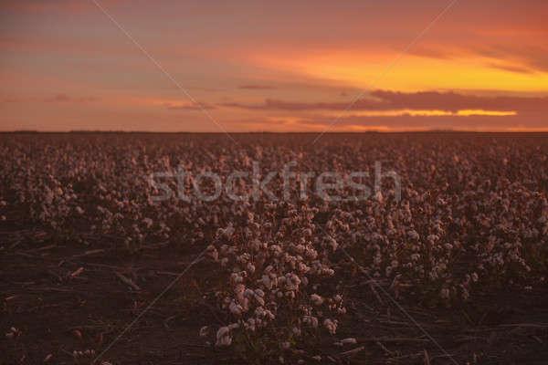 Cotton field in Oakey, Queensland Stock photo © artistrobd