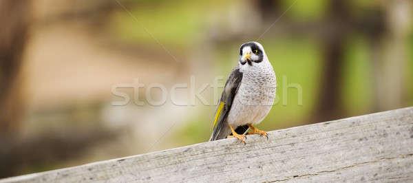 Barulhento pássaro amarelo cinza Foto stock © artistrobd