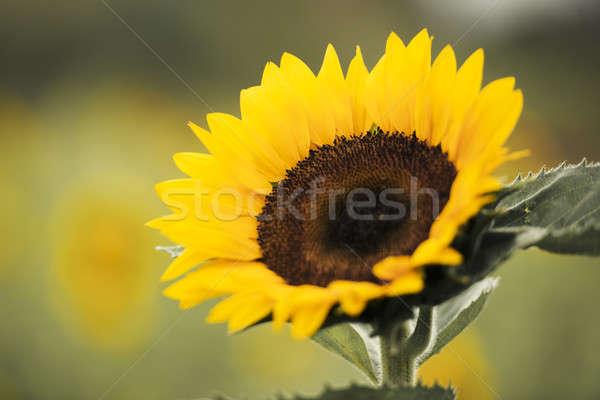 Sonnenblumen Bereich Nachmittag Queensland Australien Sommer Stock foto © artistrobd