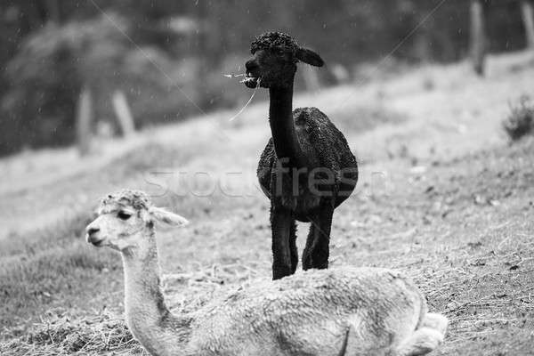 Alpacas in a field. Black and White  Stock photo © artistrobd
