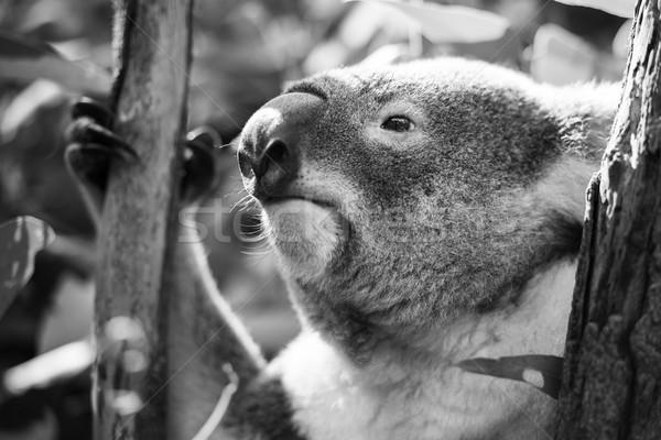 Koala árbol blanco negro australiano aire libre fondo Foto stock © artistrobd