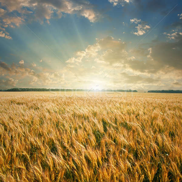 Stock photo: wheat field on sunset