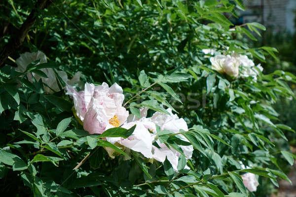 Verde jardim branco belo flor Foto stock © artjazz