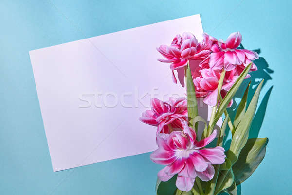 Beautiful pink tulips with white paper on a blue background with a place under the text Stock photo © artjazz