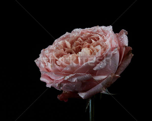 Dying pink flower Ranunculus with water drops isolated on black  Stock photo © artjazz