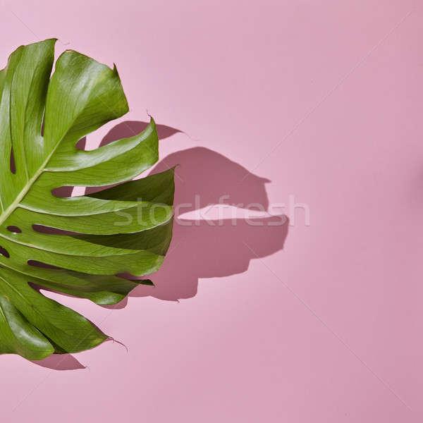 Leaf Monstera on pink background Stock photo © artjazz