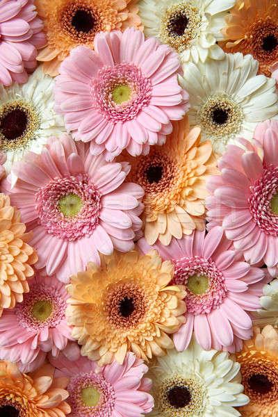 Natural floral background of white, pink, orange gerbera. Flower concept Stock photo © artjazz