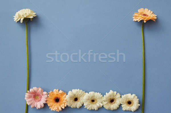 Different gerbera flowers on a blue paper background Stock photo © artjazz