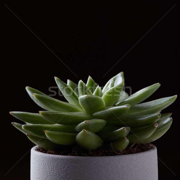 Verde succulente isolato nero cactus copia spazio Foto d'archivio © artjazz