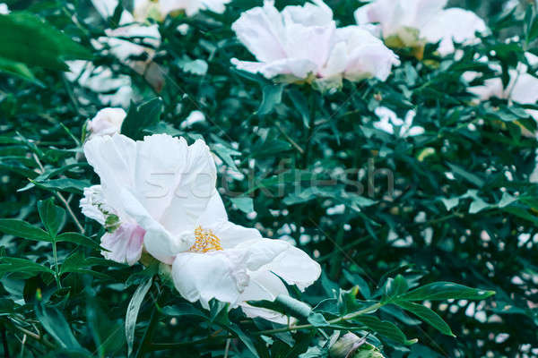 beautiful white Peony in the garden Stock photo © artjazz