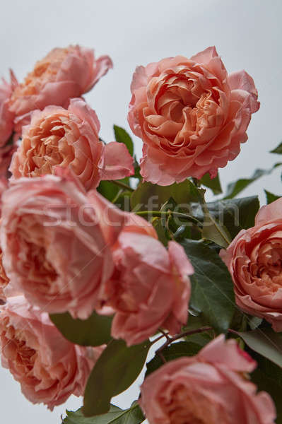 Stock photo: Close-up of buds of pink roses on a gray background. Greeting ca