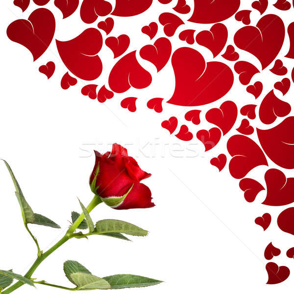 single red rose stock photos, stock images and vectors  stockfresh, Beautiful flower