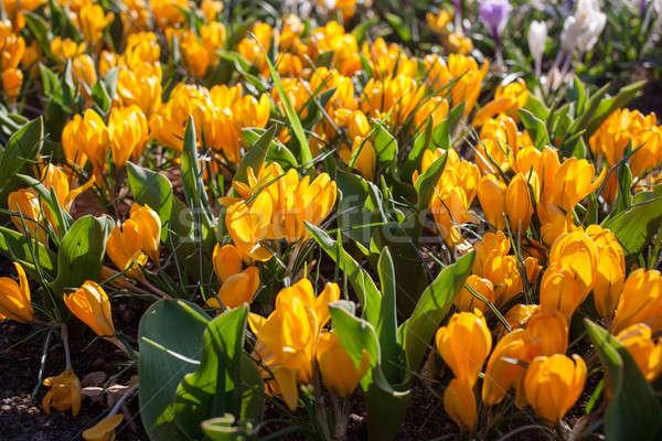 Flowers in Keukenhof park, Netherlands, also known as the Garden Stock photo © artjazz