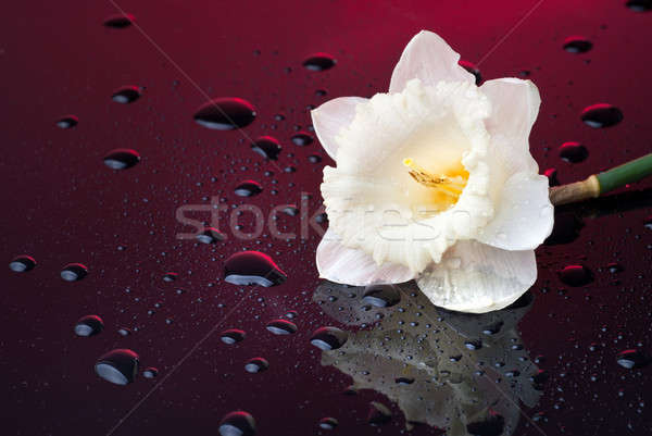 white narcissus on red background with water drops Stock photo © artjazz