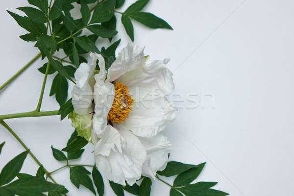 Beautiful white peonies isolated on white background with green leaves Stock photo © artjazz
