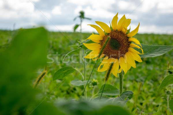 желтый подсолнечника сельский области природного Сток-фото © artjazz