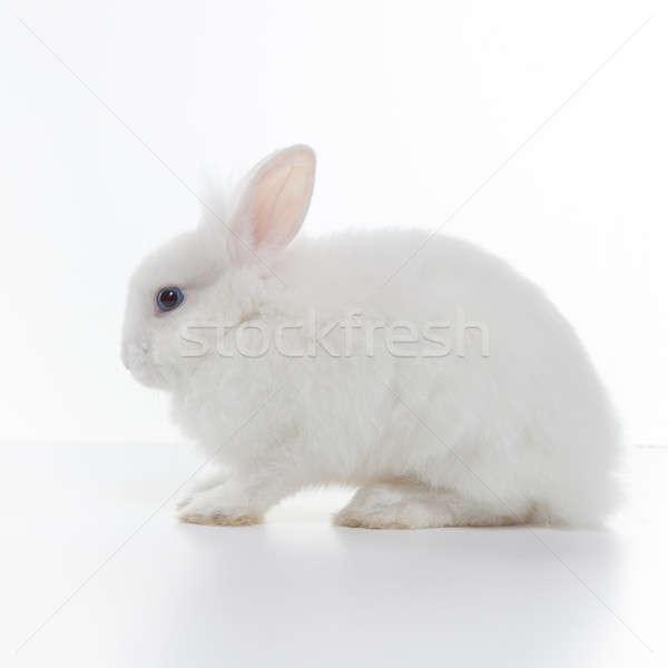 Biały królik odizolowany baby gospodarstwa zwierząt Zdjęcia stock © artjazz