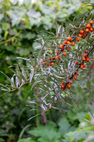In the summer garden there is a green branch with ripe sea-buckthorn berries. Healthy food Stock photo © artjazz